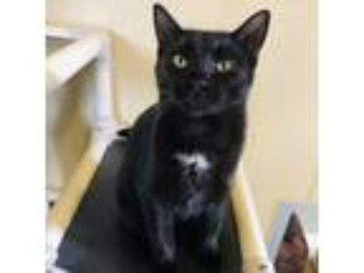 Adopt Batcat a All Black Domestic Shorthair cat in Fredericksburg, TX (22809948)