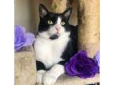 Adopt Penelope a American Shorthair, Domestic Short Hair