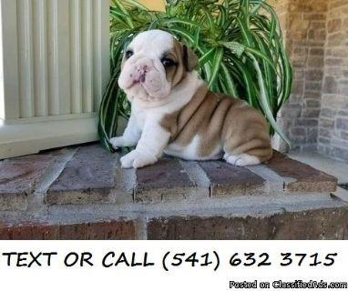 ASWE(#!*^)Pure Breed English Bulldog Puppies
