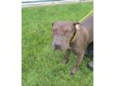 Adopt BELLA a Shar Pei / Pit Bull Terrier / Mixed dog in Lindsay, CA (25349229)