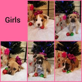Boxer-American Bully Mix PUPPY FOR SALE ADN-55605 - BullyBoxer