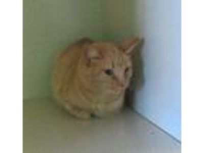 Adopt Tabby a Orange or Red Tabby Domestic Shorthair cat in Delta, CO (24809625)