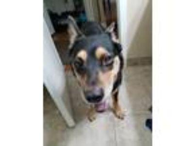 Adopt Layla a Black - with Tan, Yellow or Fawn Australian Shepherd / Australian