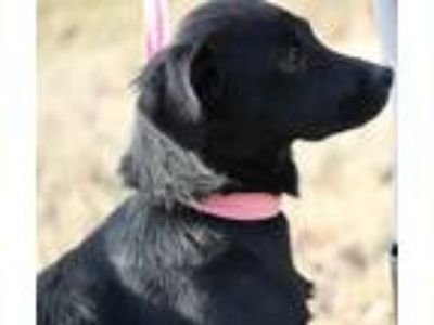 Adopt Priscilla R IN PA!! Low Fee! a Black Labrador Retriever / Mixed dog in