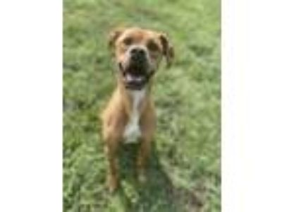 Adopt Ray a Boxer / Mixed dog in Osage Beach, MO (24498621)