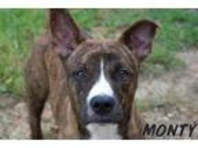 Adopt Monty a Brindle - with White American Pit Bull Terrier / Hound (Unknown