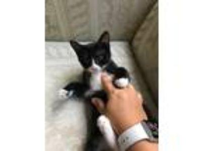 Adopt Kitten 2 - Mittens a Black & White or Tuxedo Domestic Shorthair cat in