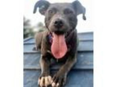 Adopt Hathor a Brown/Chocolate American Pit Bull Terrier / Mixed dog in