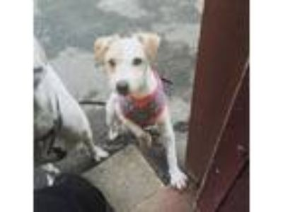 Adopt Camellia a Parson Russell Terrier