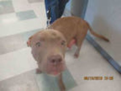 Adopt ARIEL a Tan/Yellow/Fawn American Pit Bull Terrier / Mixed dog in Oklahoma