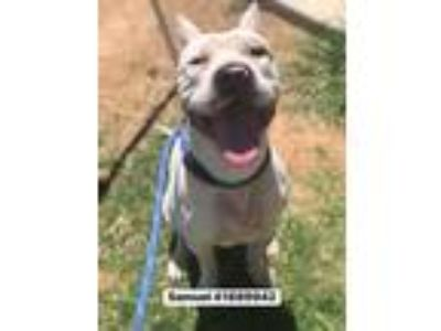 Adopt Samuel a White American Pit Bull Terrier / Mixed dog in Fort Worth