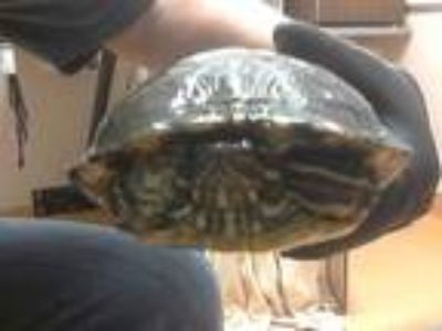 Adopt a Turtle - Water / Mixed reptile, amphibian, and/or fish in Martinez