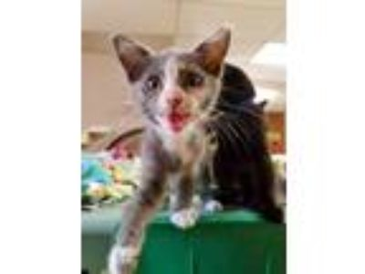 Adopt Kitten 18357 a Calico or Dilute Calico Domestic Shorthair cat in Parlier
