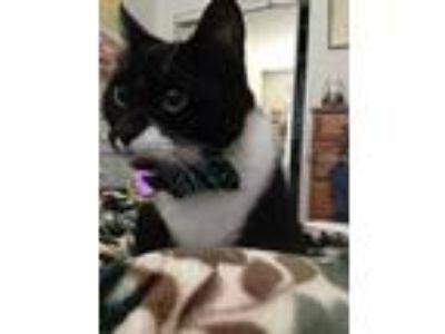 Adopt Lola a Black & White or Tuxedo American Shorthair cat in Portland