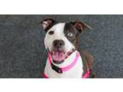 Adopt Edna a Black - with White American Pit Bull Terrier / Mixed dog in New