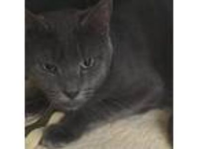 Adopt Meep a Gray or Blue Domestic Shorthair cat in South Haven, MI (25075795)