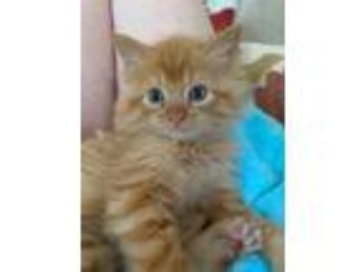 Adopt Chester a Orange or Red Domestic Longhair cat in Dallas, TX (25578938)