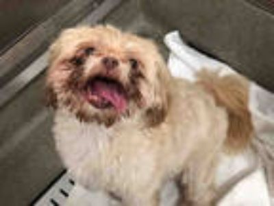 Adopt BOO BOO a Brown/Chocolate Shih Tzu / Mixed dog in Fort Lauderdale