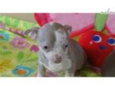 CKC Male Chihuahua Puppies