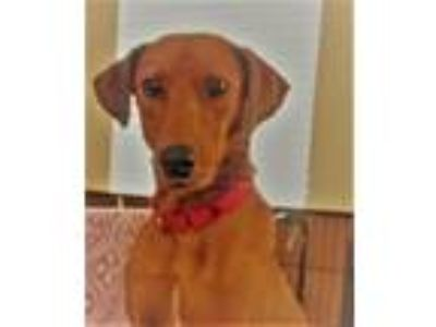 Adopt Cleo a Red/Golden/Orange/Chestnut Blue Lacy/Texas Lacy / Mixed dog in