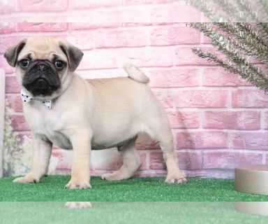 Pug PUPPY FOR SALE ADN-129128 - Finn Handsome Male Pug Puppy