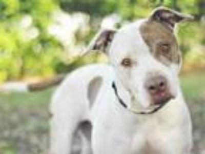 Adopt DEE DEE a White - with Brown or Chocolate American Pit Bull Terrier /