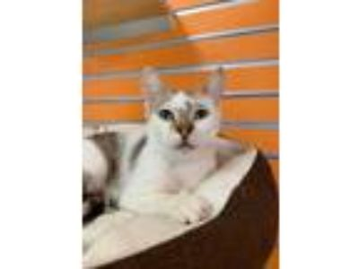 Adopt Skittles a White Domestic Shorthair / Domestic Shorthair / Mixed cat in