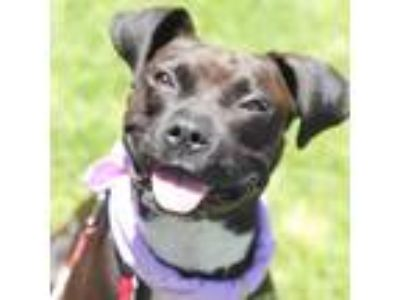 Adopt Tibby a Black Boxer / Mixed dog in San Diego, CA (25573378)