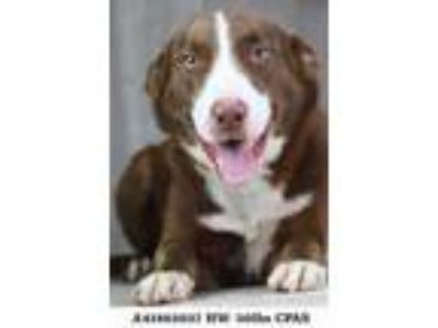 Adopt Twix a Brown/Chocolate Collie / Mixed dog in Shreveport, LA (25538155)
