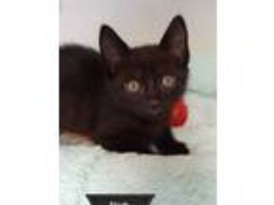 Adopt Flash a All Black Domestic Shorthair (short coat) cat in Key Largo