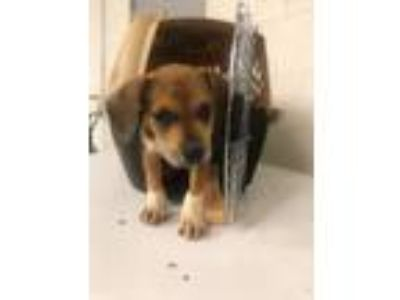 Adopt Skyler a Tricolor (Tan/Brown & Black & White) Beagle / Mixed dog in