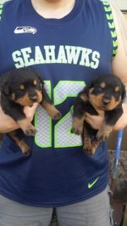 Rottweiler PUPPY FOR SALE ADN-75248 - Adorable Purebred Rottweiler Puppies