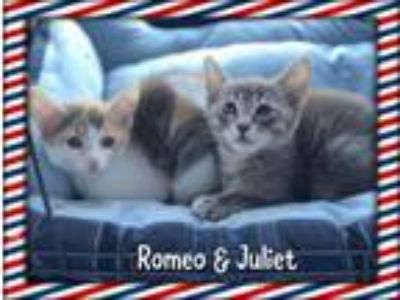 Adopt Romeo and Juliet a Spotted Tabby/Leopard Spotted Siamese / Mixed (short