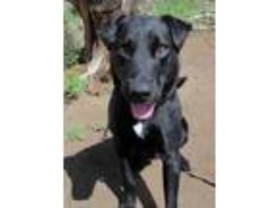 Adopt Barney a Black Labrador Retriever / Mixed dog in Redmond, OR (25276037)