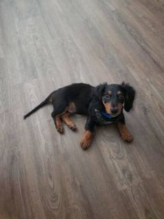 Dachshund PUPPY FOR SALE ADN-91301 - 4 Month Old Male Dachshund