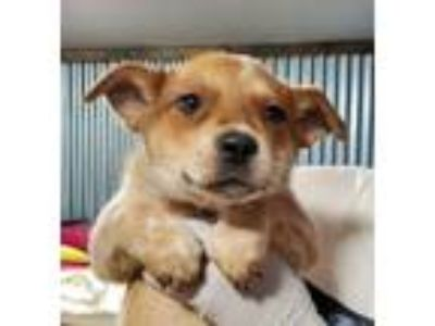 Adopt Lindy a Red/Golden/Orange/Chestnut Australian Cattle Dog / Blue Heeler /