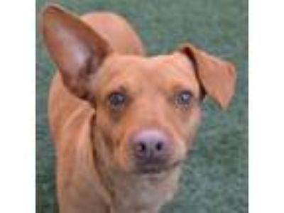 Adopt Jerald a Brown/Chocolate Dachshund / Mixed dog in Burlingame