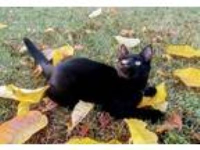 Adopt Cinder a All Black Domestic Shorthair / Mixed (short coat) cat in Polson