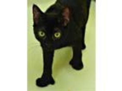 Adopt Sandy a All Black Domestic Shorthair / Domestic Shorthair / Mixed cat in