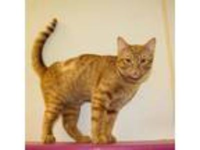 Adopt Admiral a Domestic Short Hair