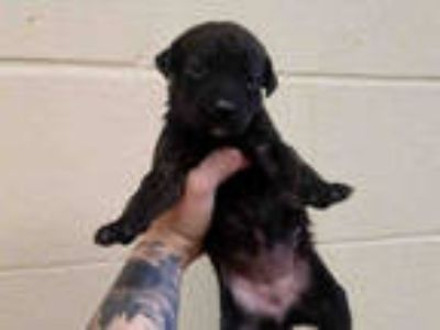 Adopt a Black Labrador Retriever / Mixed dog in Texas City, TX (25914756)