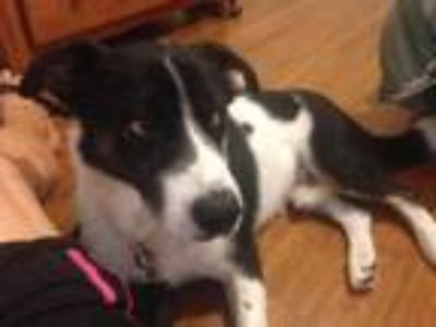 Adopt Corky a Border Collie, Corgi