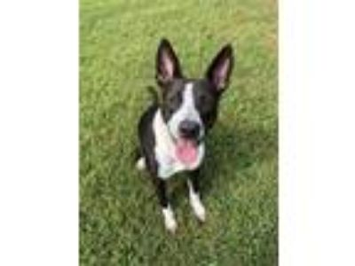 Adopt Beatriz a Border Collie, Mixed Breed