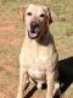 Sandy Yellow Labrador Retriever Dog