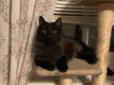 Adopt Pete The Cat a Black (Mostly) Maine Coon / Mixed (long coat) cat in