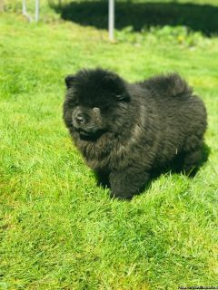 Extra Charming Chow Chow Puppies Available For New Looking Home