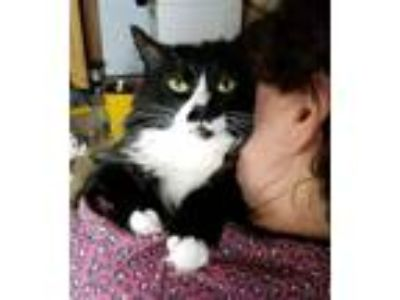 Adopt Sparky a Black & White or Tuxedo Domestic Longhair (long coat) cat in