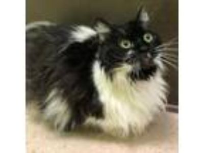 Adopt Grace a All Black Domestic Longhair / Domestic Shorthair / Mixed cat in