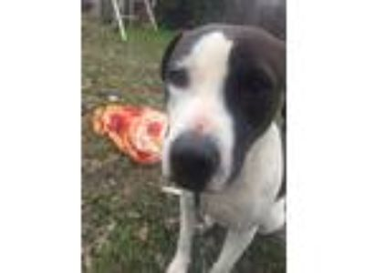 Adopt Cow a White - with Black American Pit Bull Terrier / Mixed dog in San