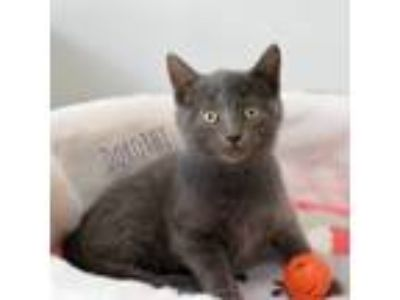 Adopt Dorothy a Russian Blue, Domestic Short Hair